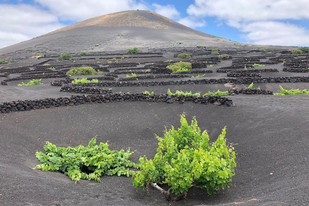 Vines in the Volcanic Region