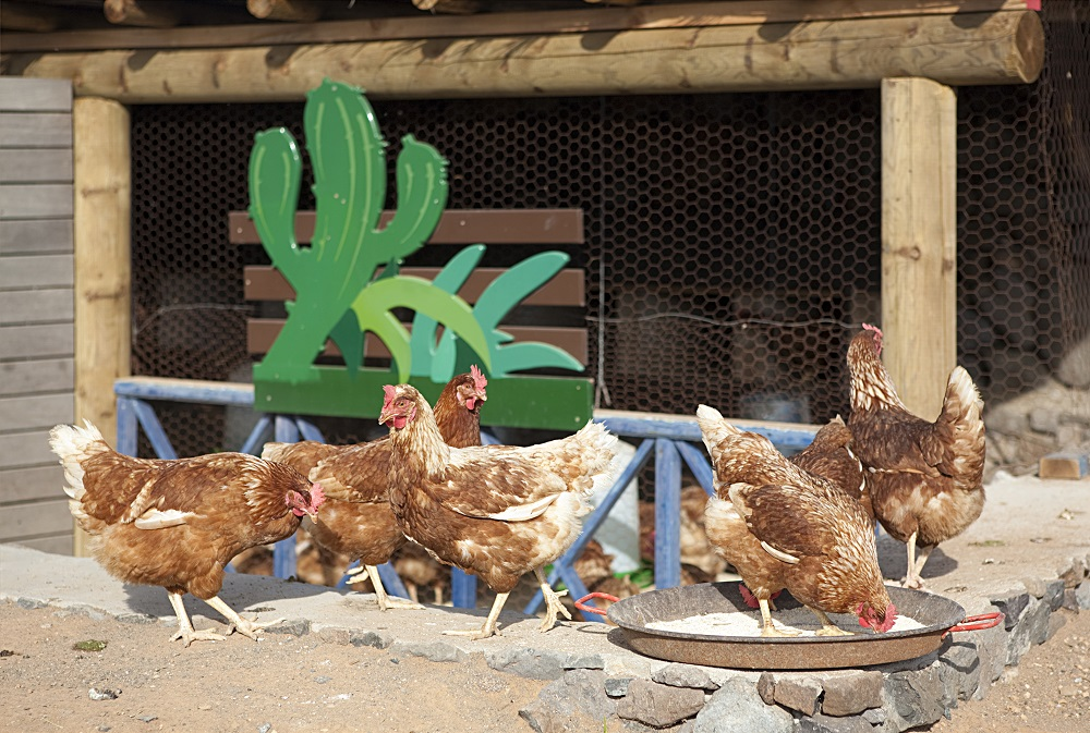 Chicken farm at Finca de Arrieta